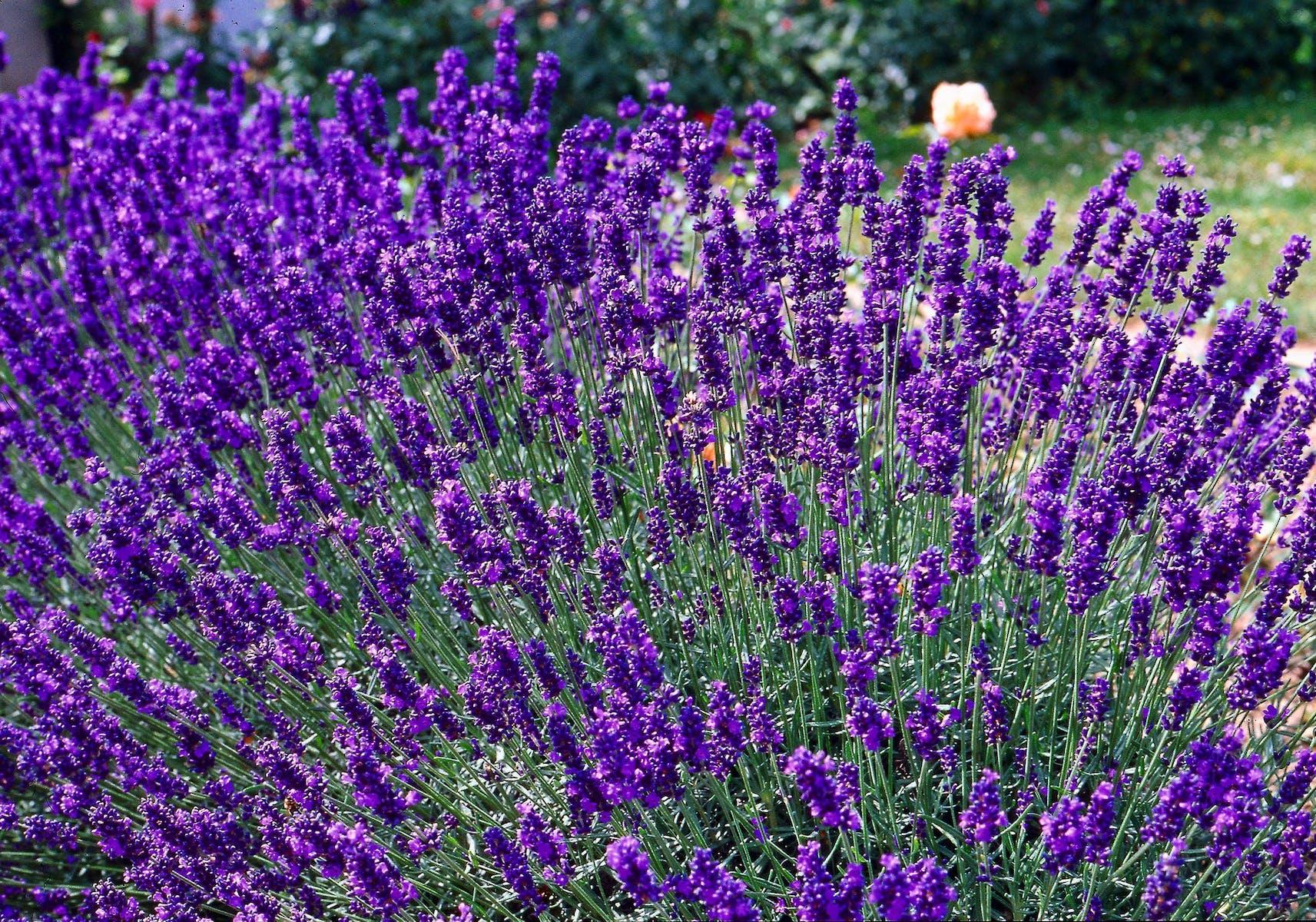 Lavendel Dwarf Blue